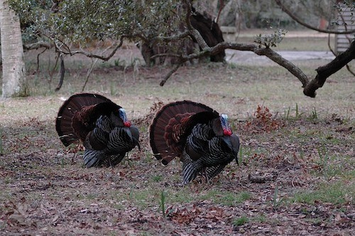 Turkeys walking in woods