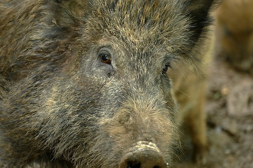 best states to hunt wild hogs